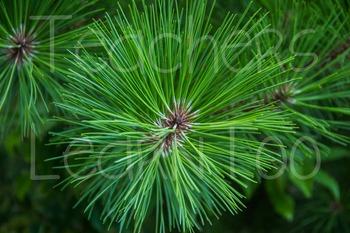 Stock Photos - Pine Tree #2