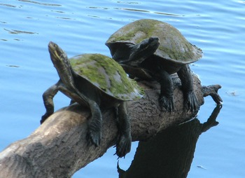 Stock photo of two turtles