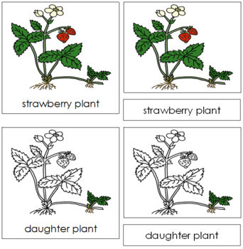 Strawberry Plant Nomenclature Cards