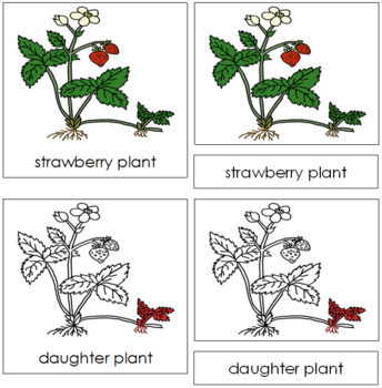 Strawberry Plant Nomenclature Cards - Red