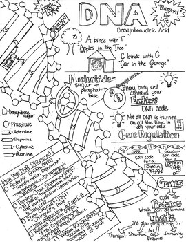 Structure & Function of DNA Sketch Notes W/Teacher's Guide & Student Notes!