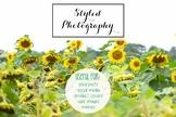 Styled Stock Photo: Fall BUNDLE - Sunflowers (Comm Use OK)