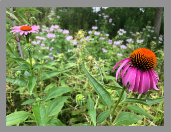 Summer Wildflowers And Plants (Eastern Woodlands) STOCK PHOTOGRAPHY IMAGES