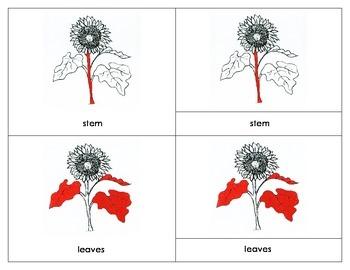 Sunflower Nomenclature