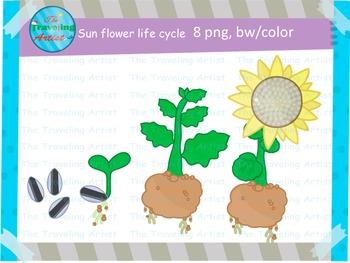 FREE Sun flower life cycle clip art