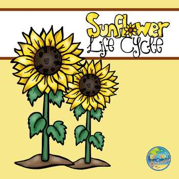 Life Cycle of a Sunflower