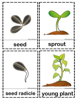 Sunflower Life Cycle Cards & Activity Sheets