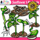 Sunflower Life Cycle Clip Art {Spring Plant Graphics for Science Activities}
