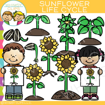 Sunflower Life Cycle Clip Art