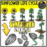 Sunflower Life Cycle Clip Art Set {Educlips Clipart}