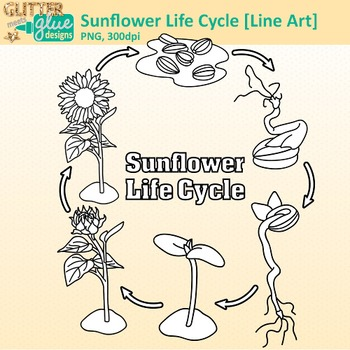 Sunflower Life Cycle Clip Art {Spring Plant Graphics for Science Activities} B&W