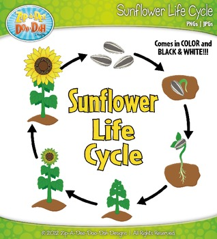Sunflower Life Cycle Clipart {Zip-A-Dee-Doo-Dah Designs}