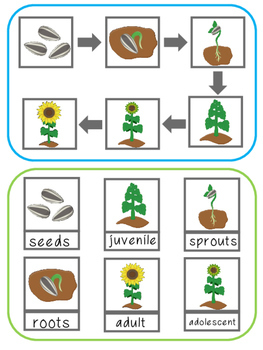Sunflower Life Cycle File Folder Activity