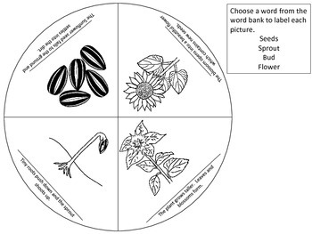 Sunflower Life Cycle Wheel & Teaching Cards