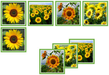 Sunflower Photo Matching Cards