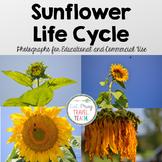 Sunflower Life Cycle Stock Photos