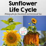 Sunflower Life Cycle Stock Photos