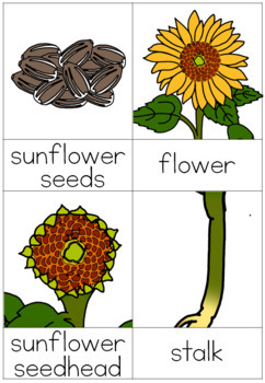 Sunflower life cycle nomenclature cards