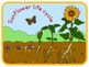 Sunflower life cycle poster