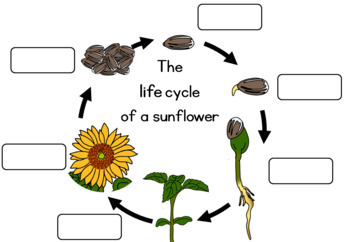 Sunflower life cycle  worksheet