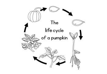 Pumpkin life cycle  worksheet