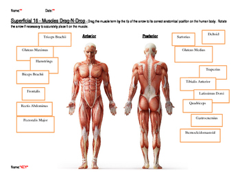 Superficial Muscles Drag and Drop with KEY