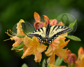 Swallowtail Butterfly on Orange Flowers - Stock Photo - Nature, Bugs, Spring