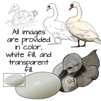 Swans Life Cycle Clip Art