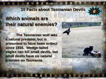 TASMANIAN DEVILS - visually engaging PPT w facts, video links, handouts & more