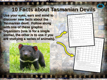 TASMANIAN DEVILS - visually engaging PPT w facts, video li