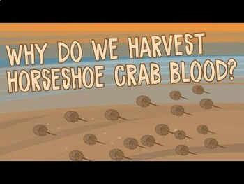 TED Ed: Why do we harvest horseshoe crab blood? Video Quiz