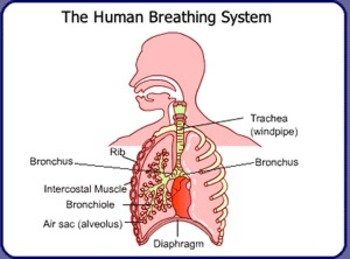 RESPIRATORY SYSTEM IN RHYMING COUPLETS: CELEBRATE NATIONAL POETRY MONTH