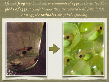 Tadpole to Frog Presentation ~Companion to The Mysterious Tadpole
