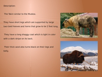 Takin - endangered animal - Power Point - Facts History Pictures
