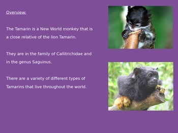 Tamarin - Power Point - endangered - information facts pictures