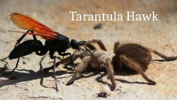 Tarantula Hawk - Power Point information facts pictures