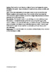 Tarantula Hawk - Spider Wasp Informational article lesson facts questions  PDF