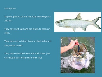 Tarpon - Trophy Fish - Power Point - information pictures
