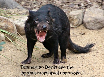 Tasmanian Devil Photo