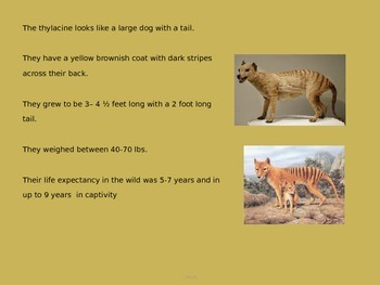 Tasmanian Tiger - Thylacine Power Point Info facts pictures history extinct
