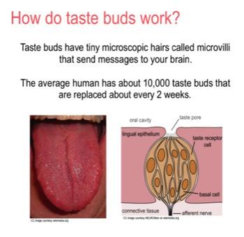 Taste Buds and Saliva SMART file