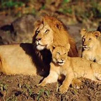 Teaching About African Poaching:  Movie To Walk With Lions