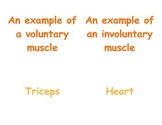 Teaching Muscles in P.E.: Second & Third Grade Vocabulary Matching Cards