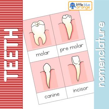 Teeth nomenclature cards