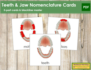 Teeth/Jaw Nomenclature Cards