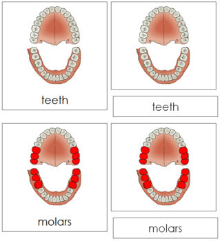 Teeth & Jaw Nomenclature Cards