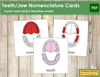 Teeth & Jaw Nomenclature Cards (Red)