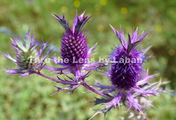 Texas False Purple Thistle Stock Photo #209