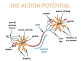 The Action Potential - Neurons, Synapses and Neurotransmit