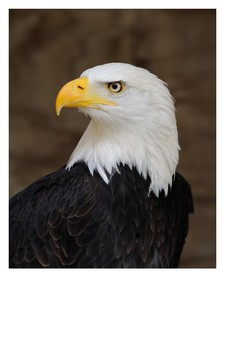 The Bald Eagle Word Search